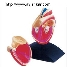 product/ANATOMICAL MODELS/pg2_2.jpg