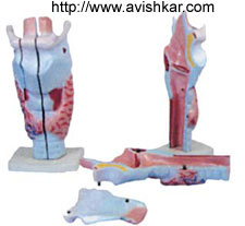 product/ANATOMICAL MODELS/pg2_4.jpg