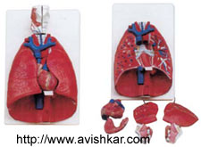 product/ANATOMICAL MODELS/pg3_5.jpg